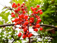 Mountain Ash (Sorbus aucuparia) - Protection Island, WA