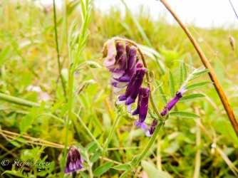 Woolly Vetch (Vicia villosa) - Protection Island, WA